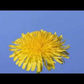 Inspiration – Time lapse Dandelion flower to seed head