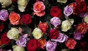 1026034-6-20150703055641-roses-may-soon-smell-much-sweeter