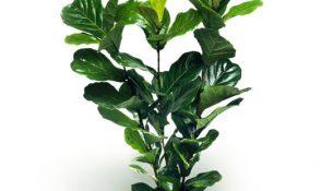 GCF-fiddle-leaf-fig