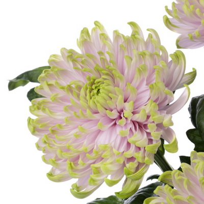 Millions of new flower varieties are created by flower breeders around the world each year, but only a few hundred are deemed special enough, better enough, ...